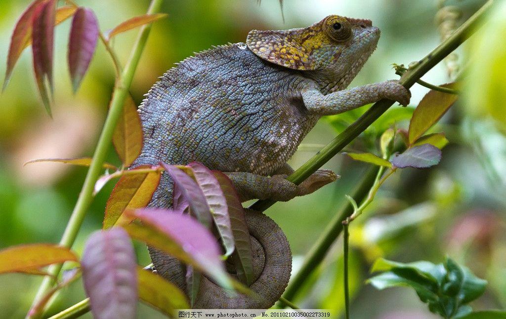 变色龙 蜥蜴 爬行动物 热带雨林 动物星球 野生动物 生物世界