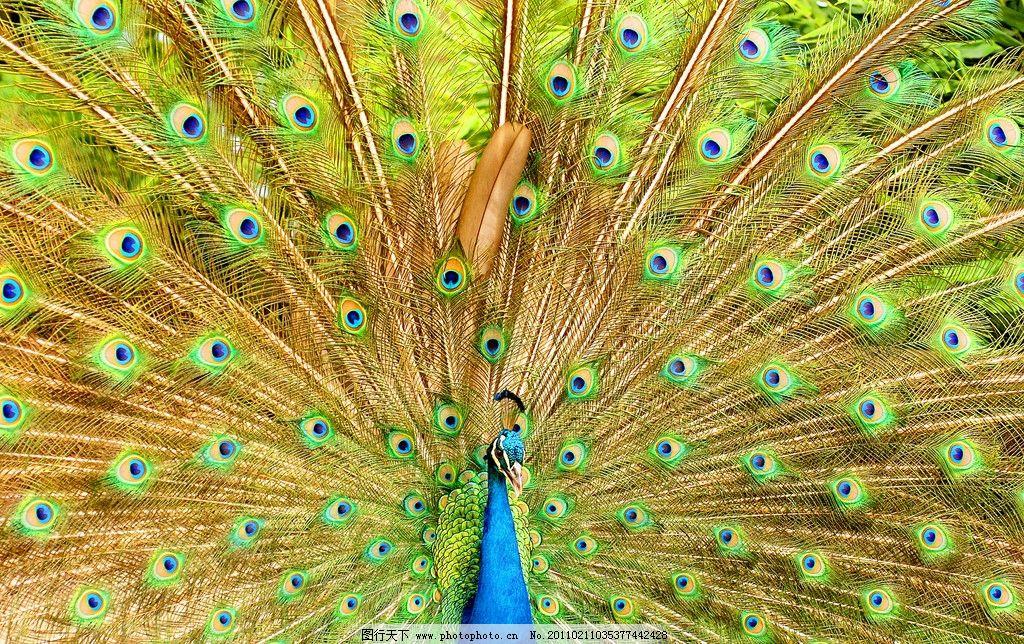 孔雀开屏 孔雀 动物图片