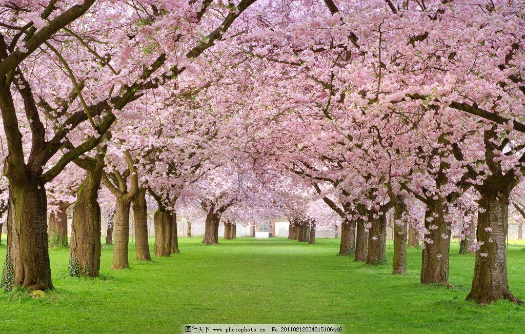 樱花 树木 草地 草坪 风景 风光 别墅 大自然 春季风景 春天风景 高清