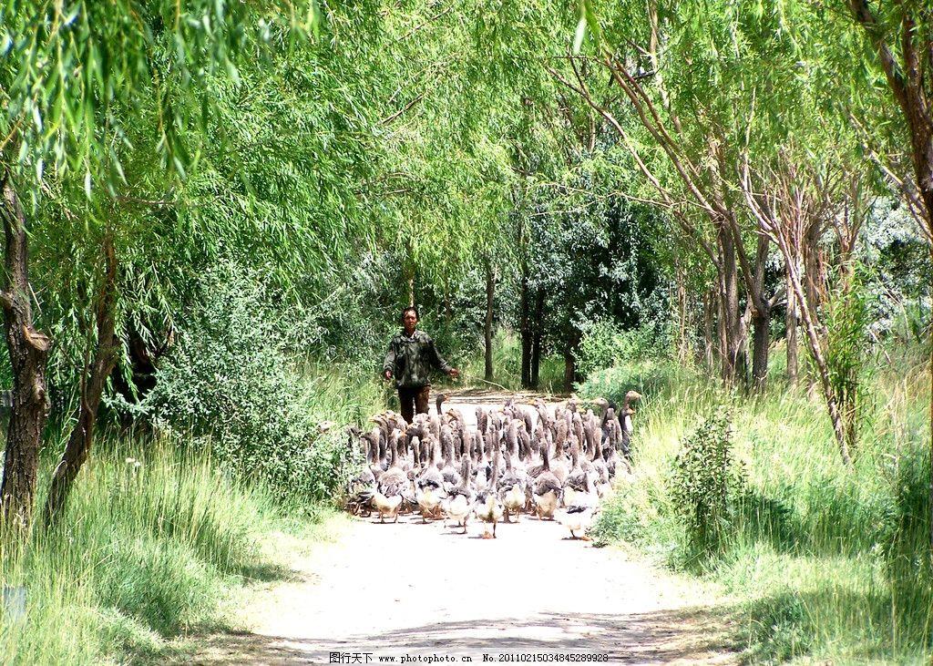 放鸭子 草坪 树林 树荫 石子小路 自然风景 自然景观 摄影 230dpi jpg