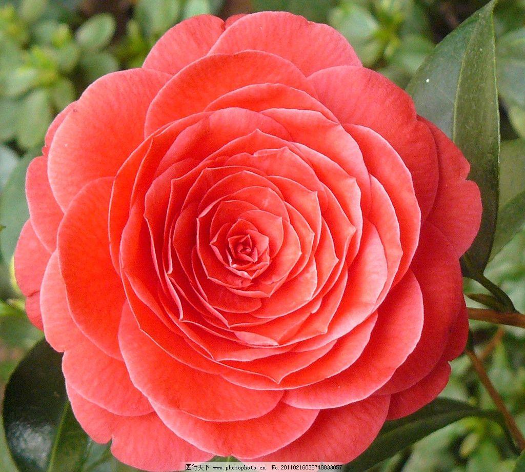 花朵素材 清晰花朵素材 ps抠图 贴图 花草 蔷薇 生物世界 摄影 72dpi