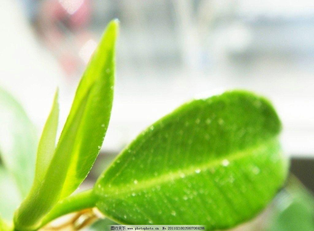 绿叶 绿色 叶子 榕树叶子 自然 春 回归自然 发芽 树木树叶 生物世界