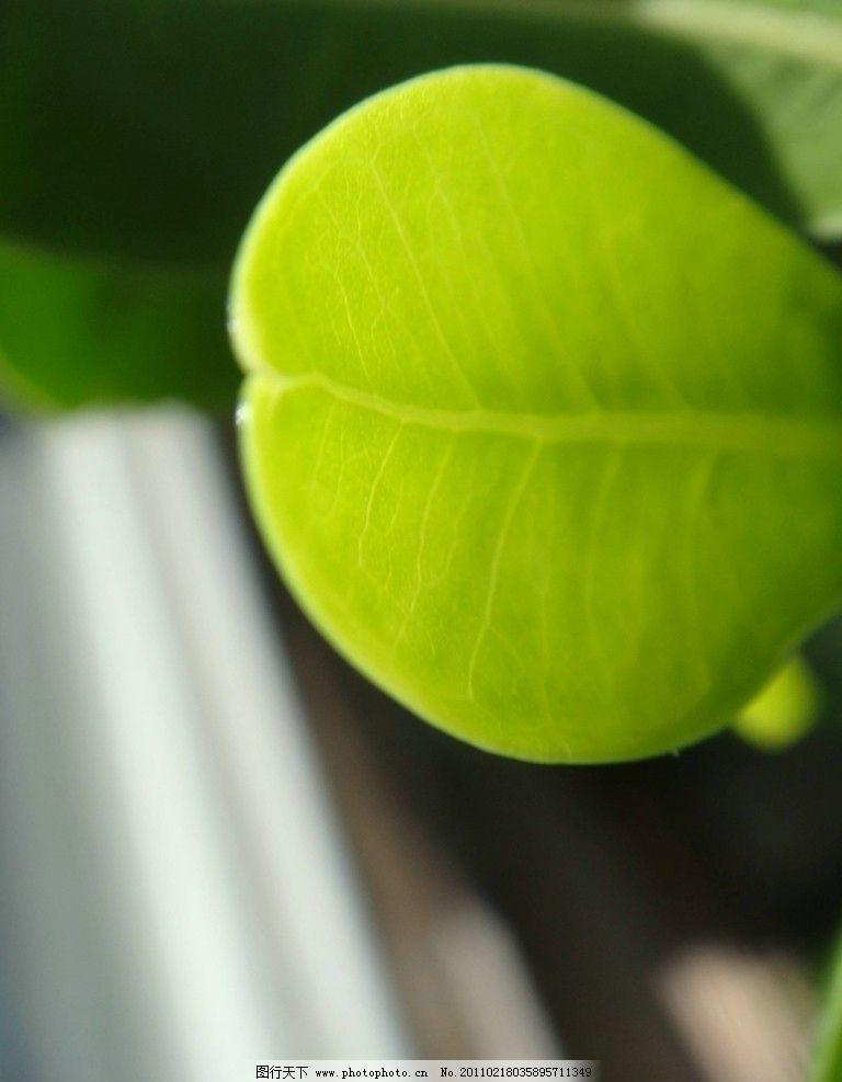 绿叶 绿色 叶子 榕树叶子 自然 春 回归自然 树木树叶 生物世界 摄影