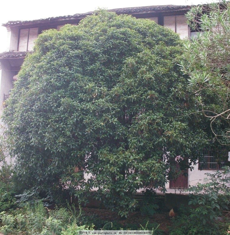 自家的桂花树 大树 自然风景 国内旅游 摄影