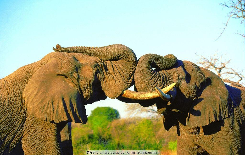 大象 非洲大象 非洲 原野 草原 野生 动物 黎明 黄昏 阴影 轮廓 树木