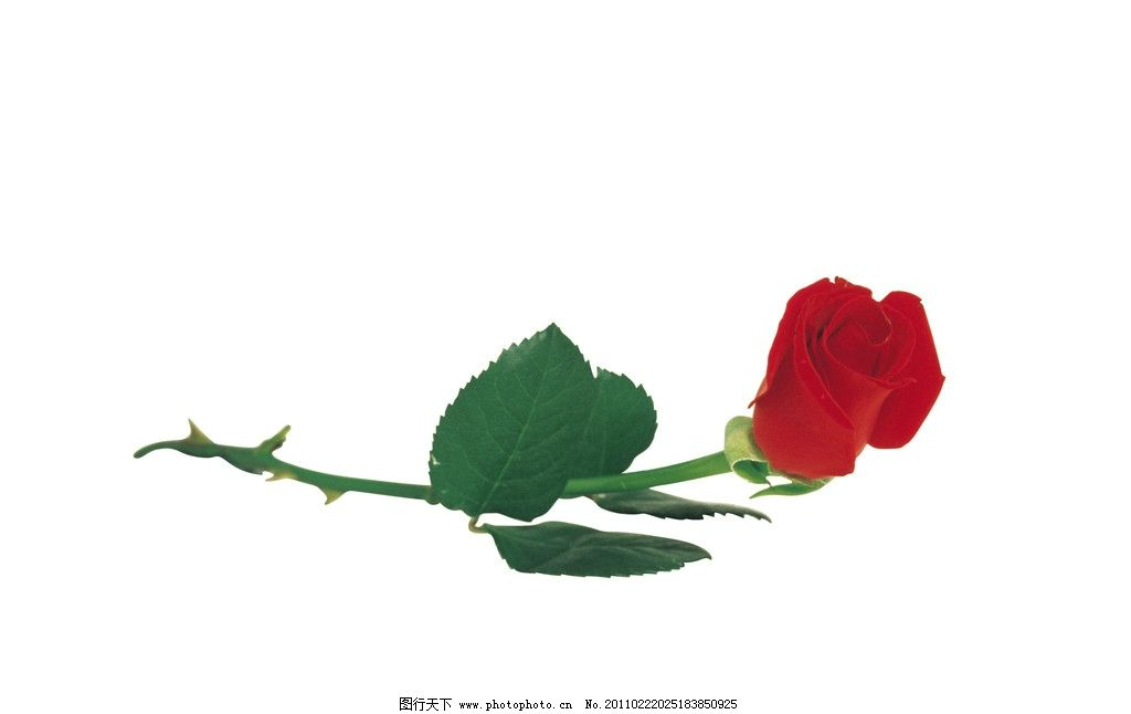 单支鲜艳玫瑰花图片