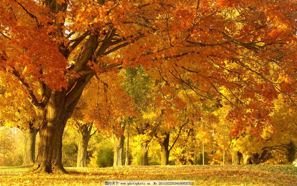 秋天 落叶 黄昏 树叶 忧伤 大树 风景 蓝天白云 旅游摄影 摄影图片