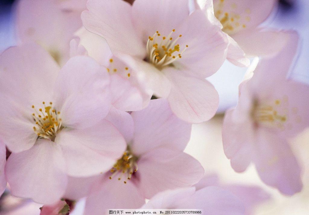 粉色樱花 樱花 樱树 盛开 植物 春天风景 春季风景 花草 生物世界