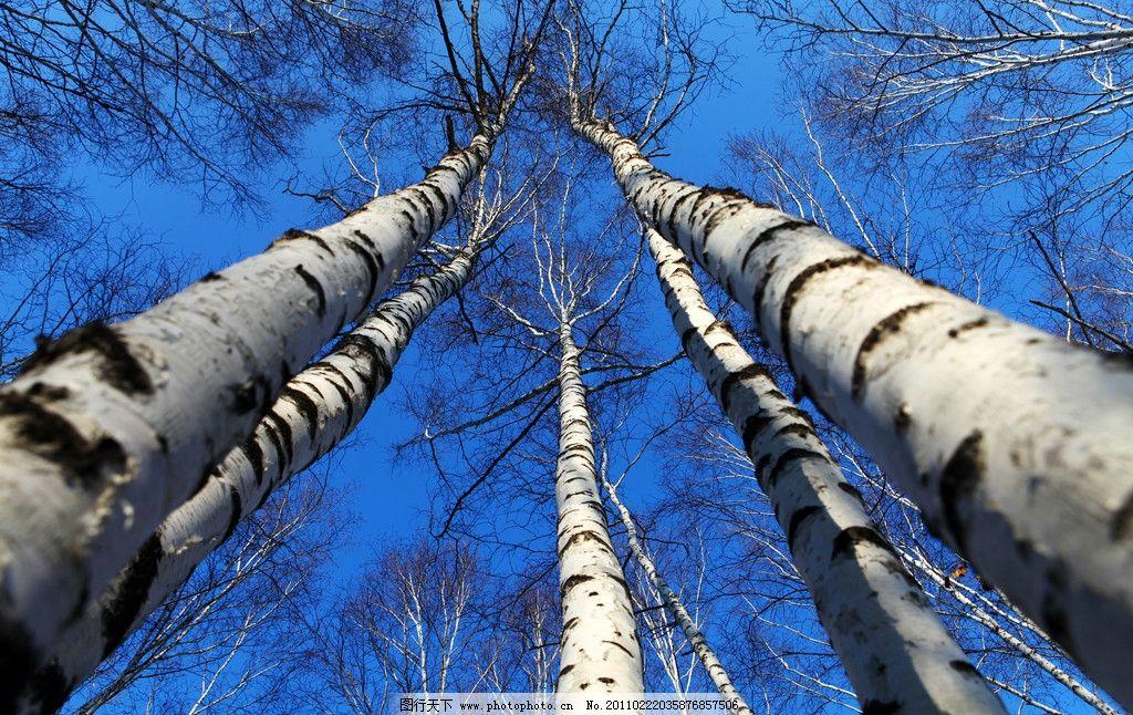 桦树 白桦 挺拔 蓝天 冬季 高洁 树木树叶 生物世界 摄影 72dpi jpg