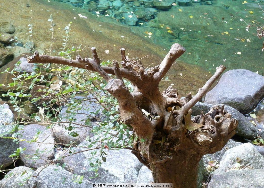 树根 黄色 旅游 山水 瀑布 森林 红叶 植物 松树 黄山 红色 峡谷 中国