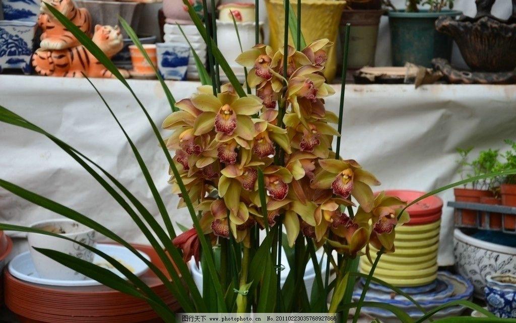 大花蕙兰 花卉 一盆 花数朵 黄绿色 花心 花纹 斑点 近拍 花卉系列