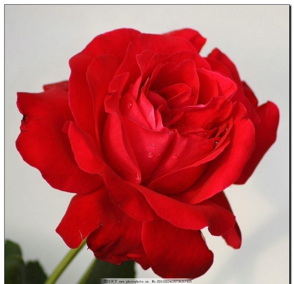 盛开的玫瑰花朵图片