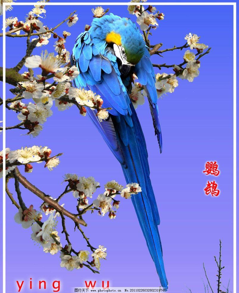 鹦鹉 鸟类 蓝羽 动物 梅花 树枝 鲜花 腊梅 高清 其他 源文件