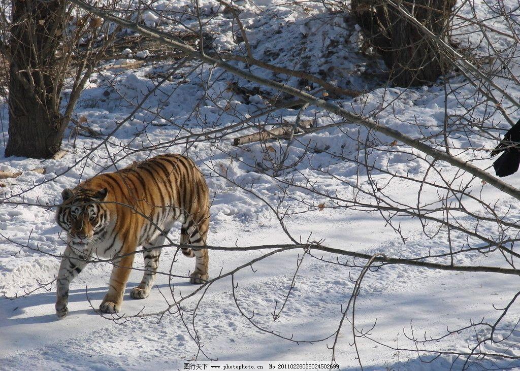 东北虎 老虎 积雪 林中路 野生动物 生物世界 摄影 72dpi jpg