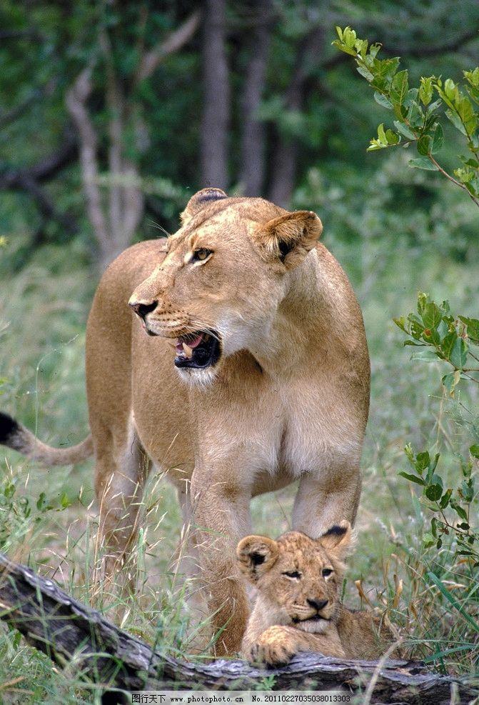 母狮与幼仔 狮子 非洲动物