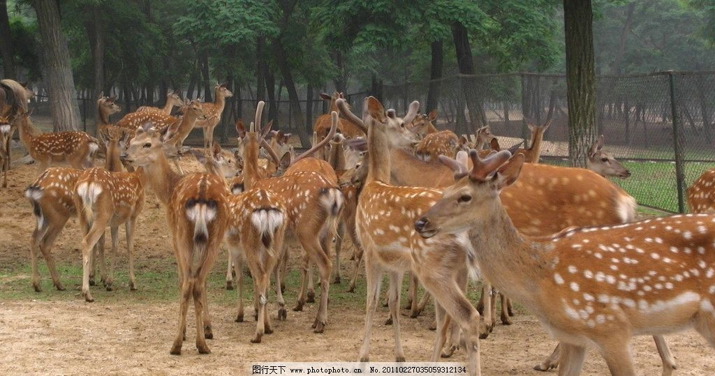 鹿群 鹿 梅花鹿 树林 野生动物 动物园 奔跑的鹿 生物世界 摄影 72dpi