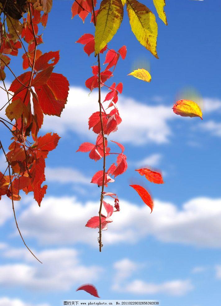 背景 壁纸 枫叶 红枫 绿色 绿叶 树 树叶 植物 桌面 712_987 竖版 竖