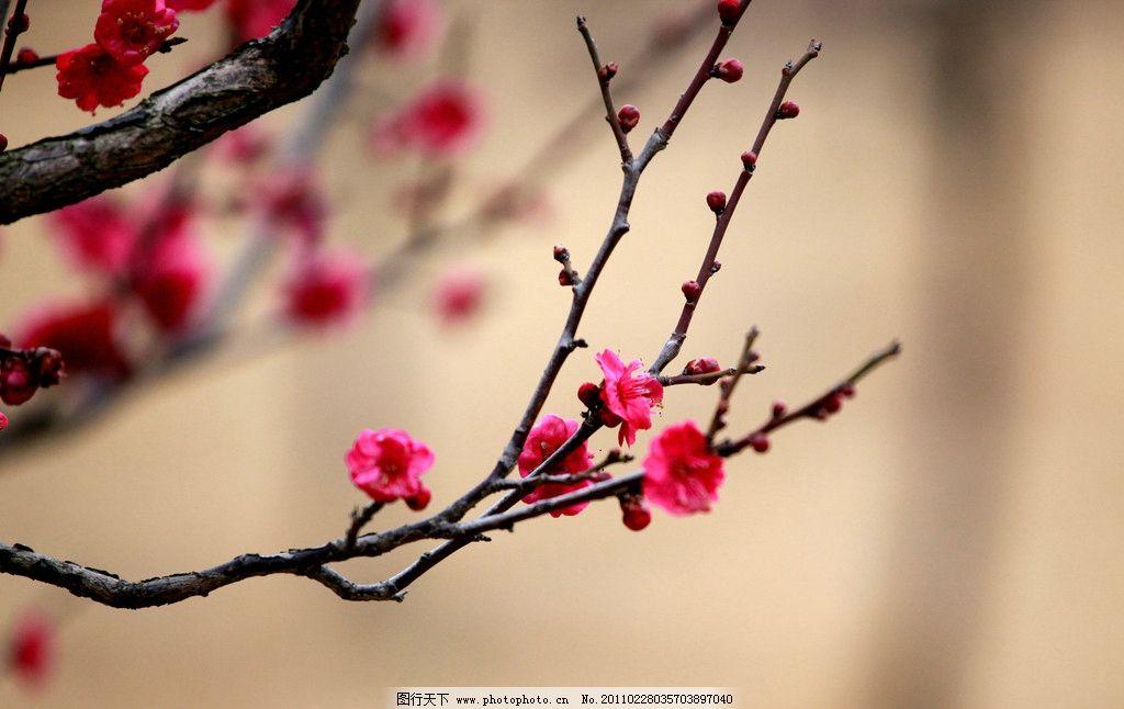 梅花 南京 梅花树 梅花山 摄影 生物 花草 生物世界 72dpi jpg