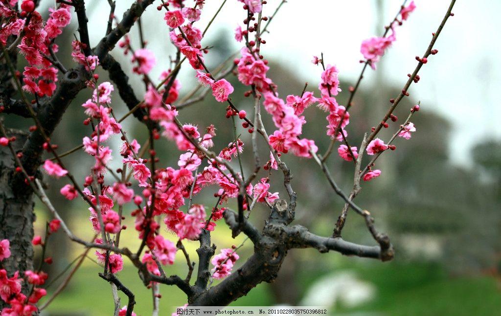 梅花 南京 梅花树 梅花山 摄影 生物 花草 红梅 生物世界 72dpi jpg