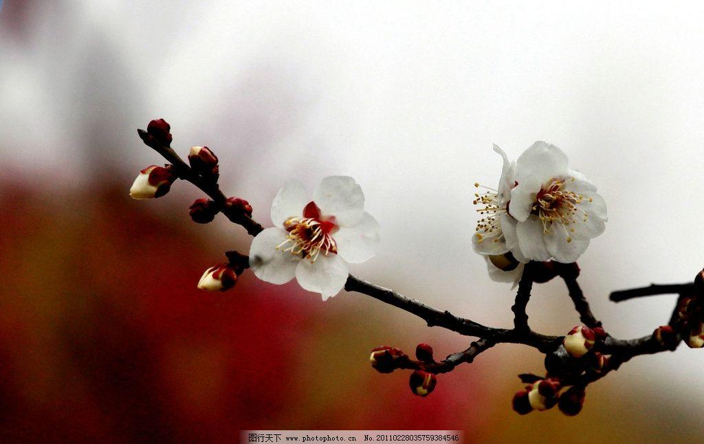 梅花 南京 梅花树 梅花山 摄影 生物 花草 白梅 生物世界 72dpi jpg