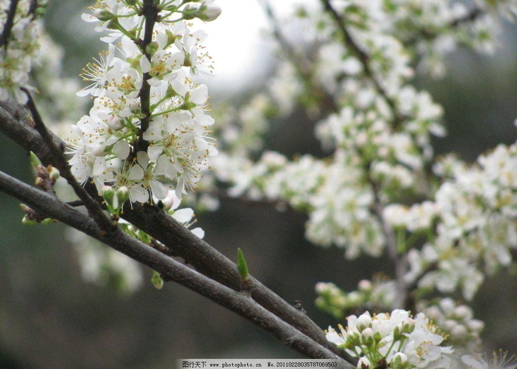 梨花图片,白色花 三月 春天 风景 旅游 摄影-图行天下