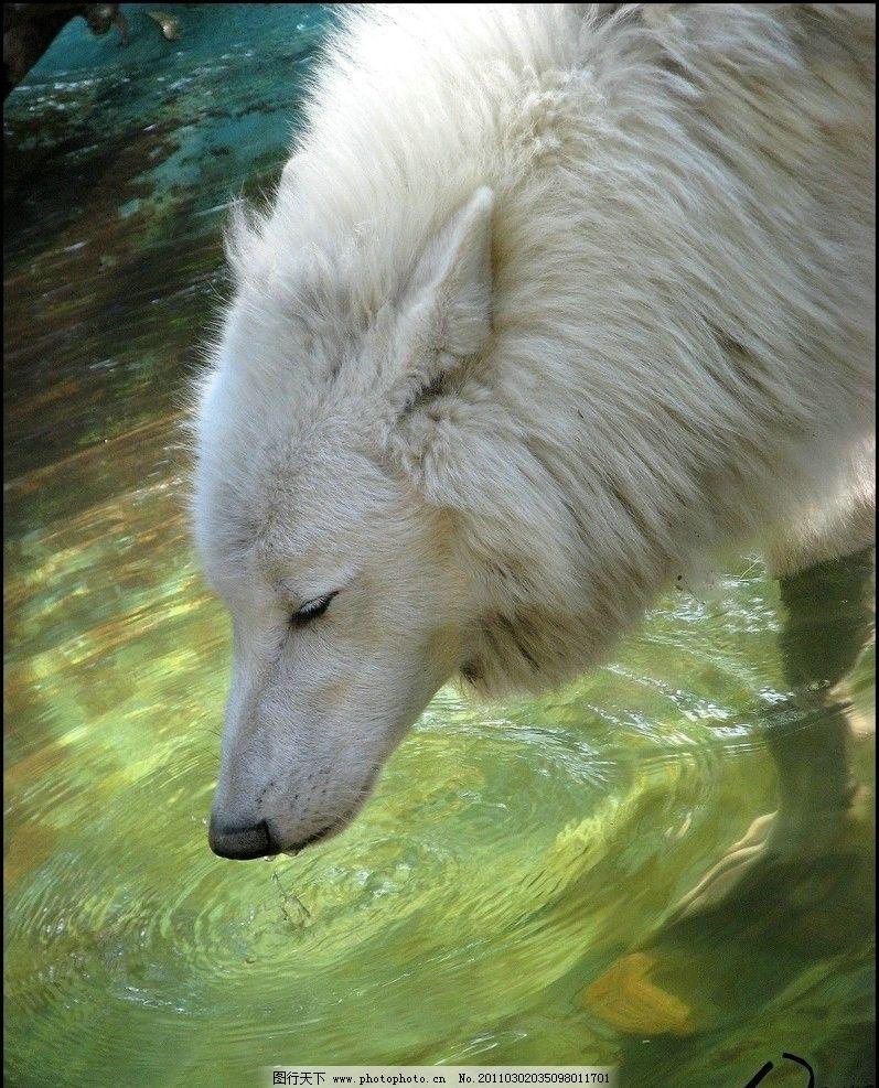 白狼喝水 狼 喝水 水波 野生动物 生物世界 摄影 180dpi jpg