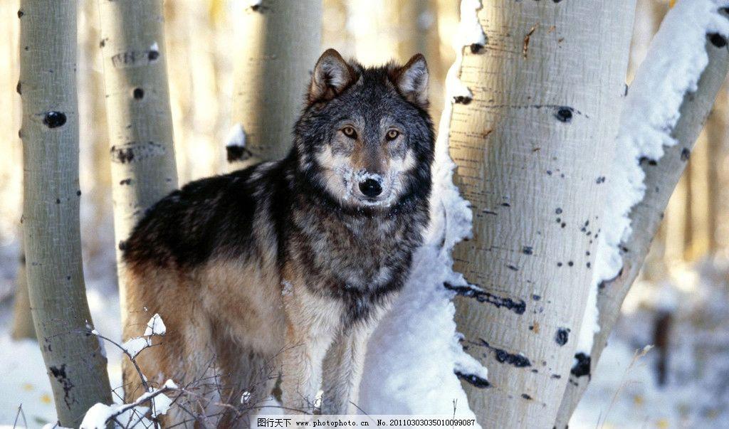 雪狼 野狼 动物图片 动物摄影 陆地动物 哺乳动物 野生动物 狼 狼图片