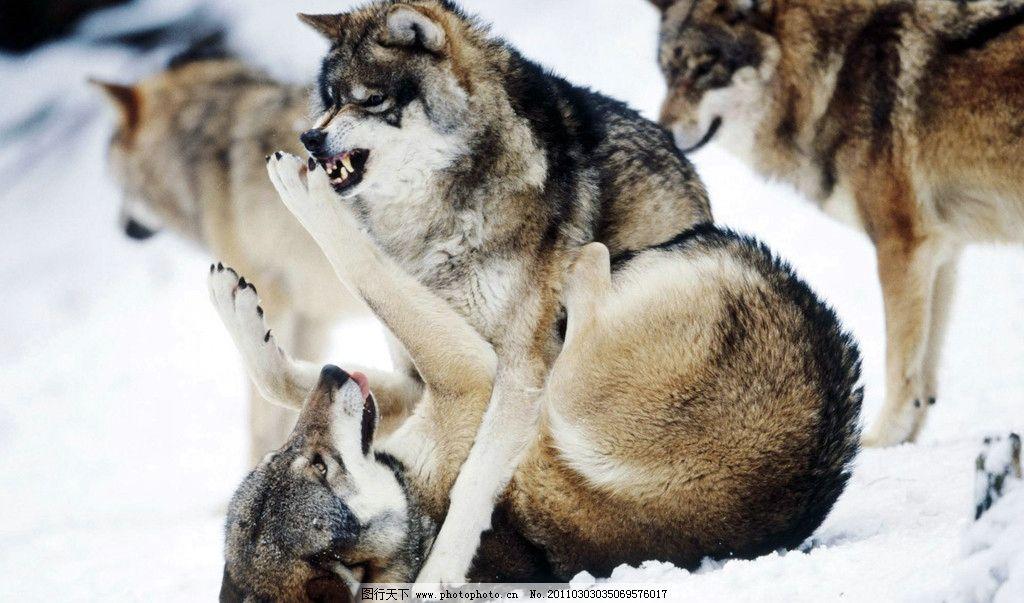 亲密伙伴 野狼 动物图片 动物摄影 陆地动物 哺乳动物 野生动物 狼 狼