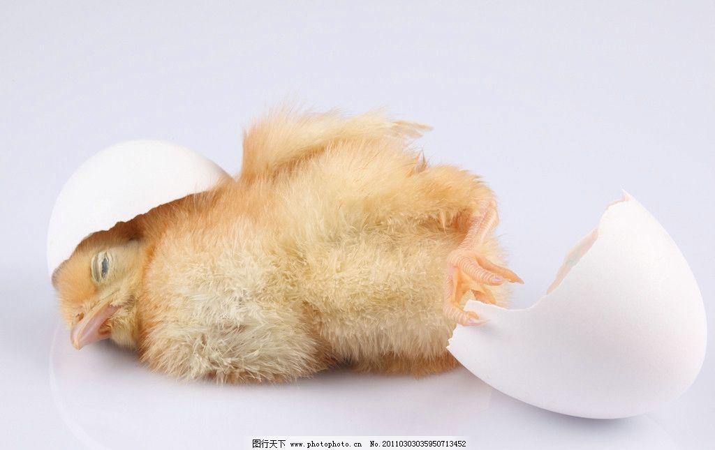 生病的小鸡图片
