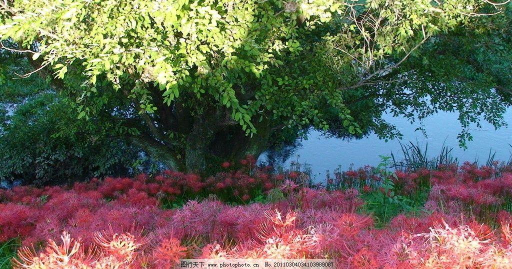 日本風光彼岸花圖片_自然風景_旅游攝影_圖行天下圖庫