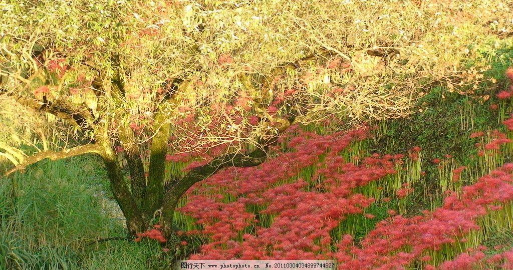 日本风光 彼岸花 花 花卉 红花 鲜花 绿草 黄叶树 自然风景 自然景观