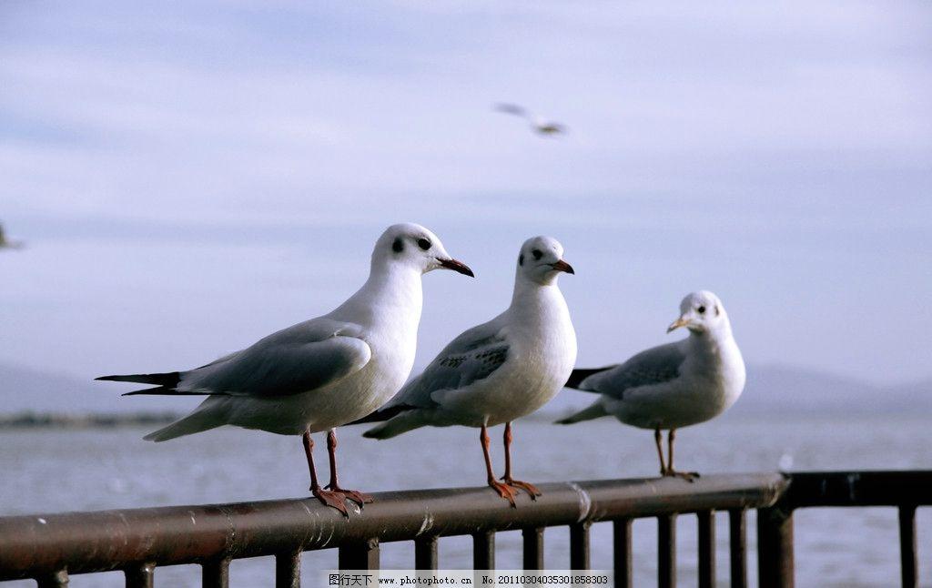 海鸥 天空 翱翔 飞翔 天高任鸟飞 脊索动物 翅膀 摄影
