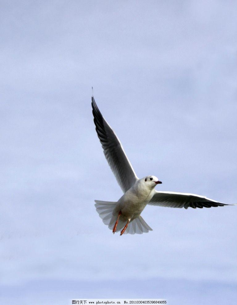 海鸥 天空 翱翔 鸟类 飞翔 天高任鸟飞 脊索动物 翅膀 生物世界