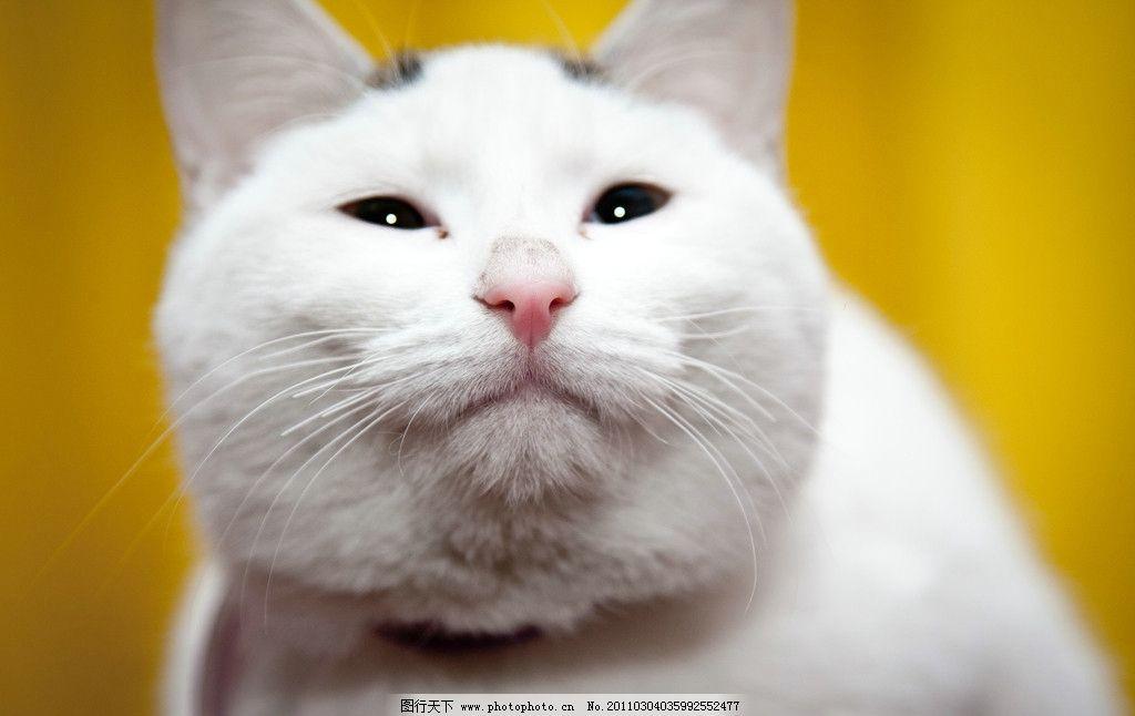 可爱白猫图片 白猫 可爱的猫 动物 宠物 家禽家畜 生物世界 摄影 240