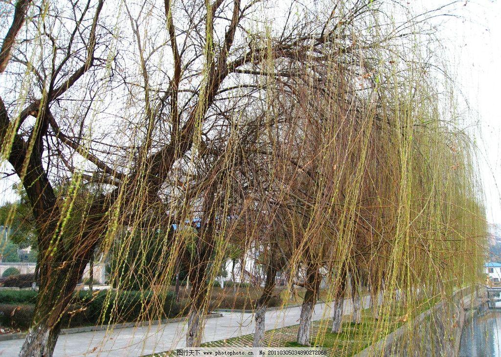 春来了 春 春天 柳树 柳枝 发新牙 绿 绿色 春寒料峭 春回大地 万物