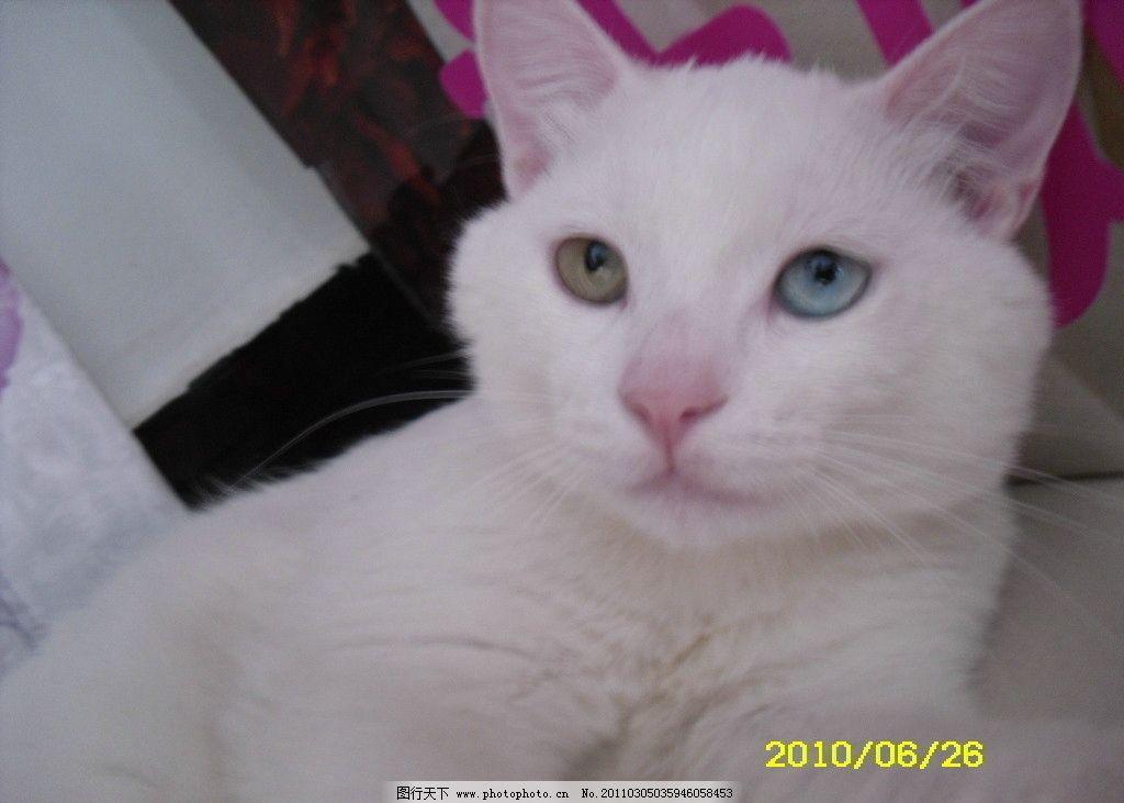 宠物波斯猫 猫咪 猫咪无辜的大眼睛 摄影