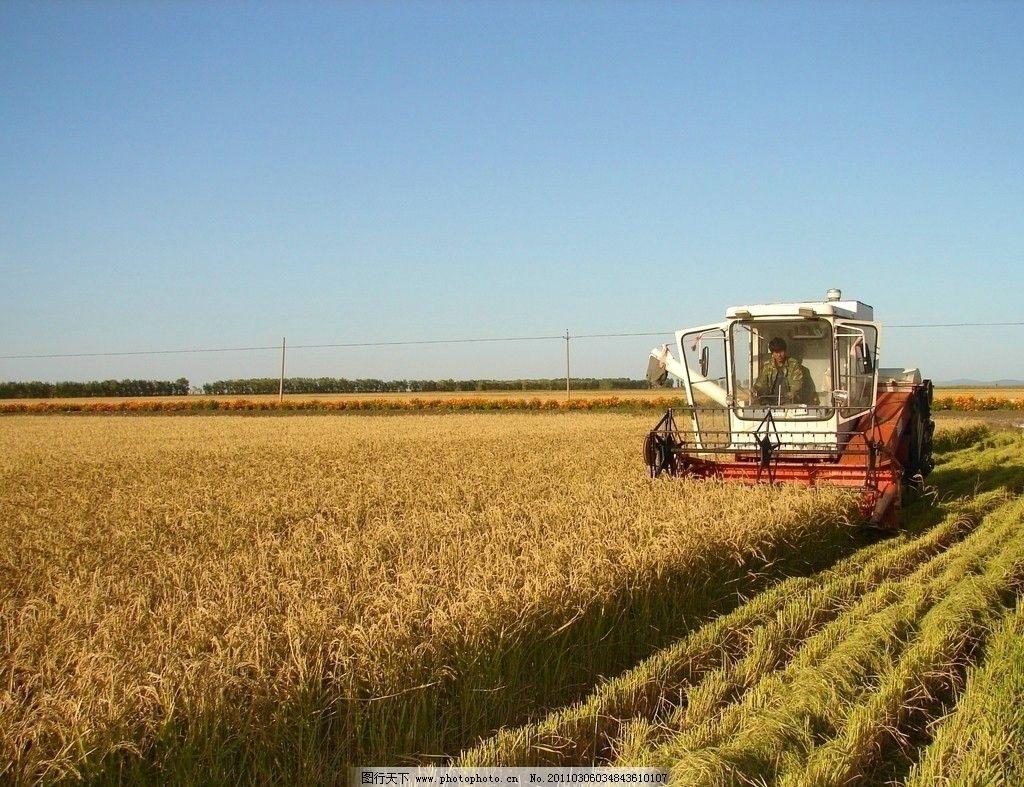 水稻收割 丰收 收割机器 蓝天 农忙时节 水稻田 风景 摄影