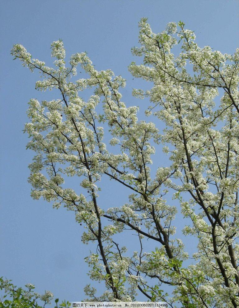 梨花 梧桐山 梨树 摄影 深圳旅游 春天 大自然 绿 蓝天 梧桐山的春天
