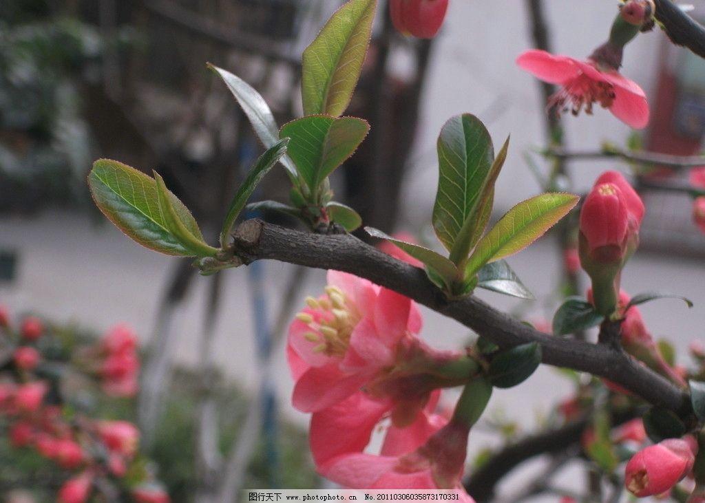 海棠树的叶子图片