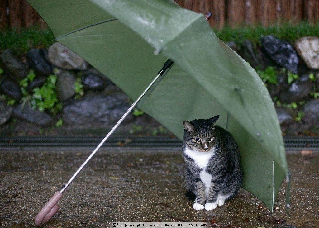 可爱猫咪 雨伞 躲雨 家禽家畜 生物世界 摄影 72dpi jpg