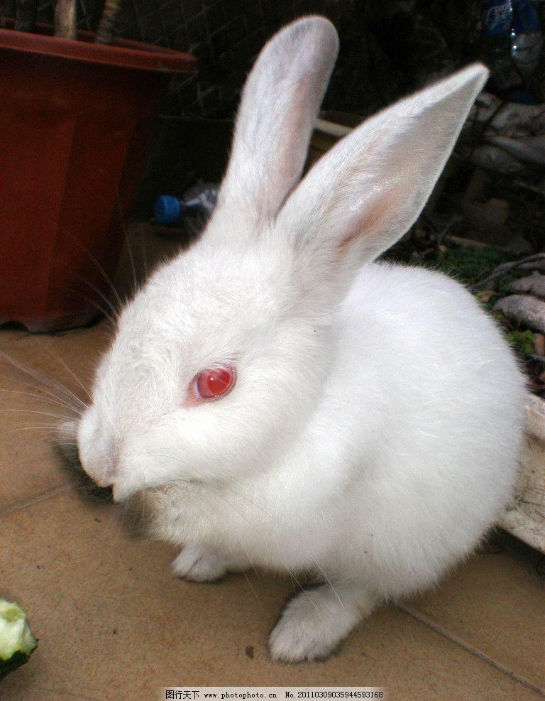可爱的兔子 动物 兔子 可爱 免子 家禽家畜 生物世界 摄影 72dpi jpg