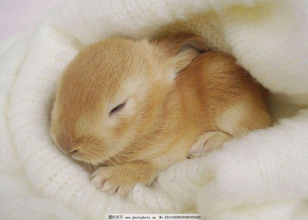 睡在棉窝里的小兔子 兔子