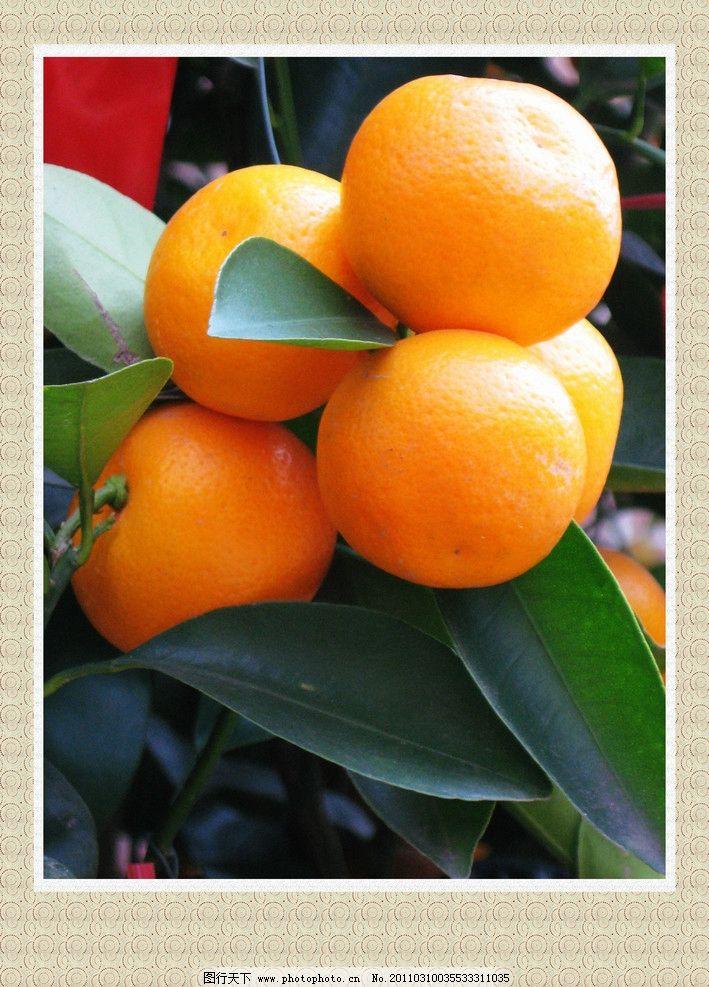 柑桔 柑橘 柑子 果子 新鲜水果 硕果累累 喜获丰收 水果 生物世界