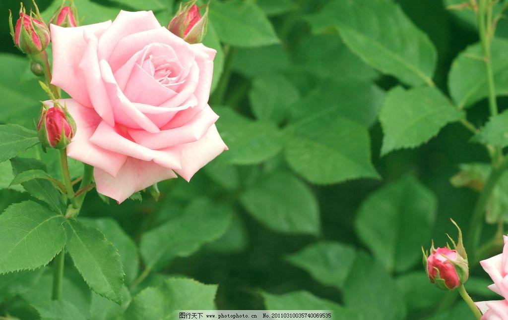 粉玫瑰 红玫瑰 鲜花 小花 树叶 花瓣 风景 植物 月季 花草树木摄影