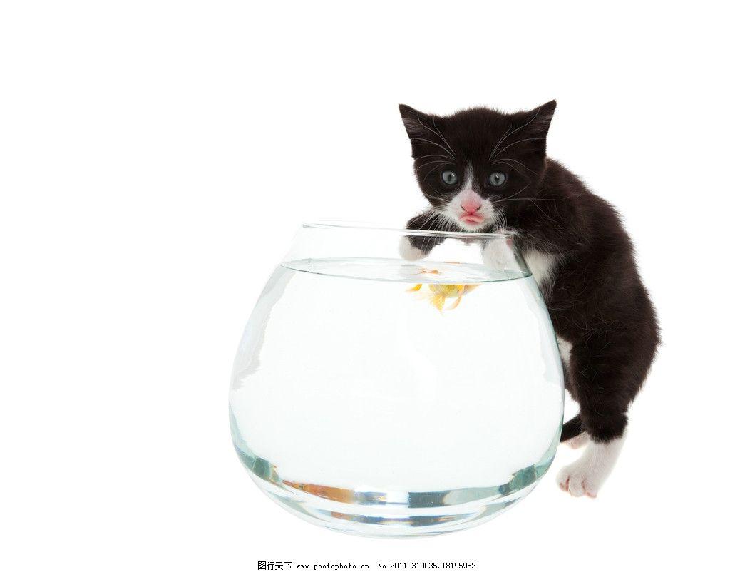 可爱的小猫 猫和鱼 猫 小猫 鱼缸 猫猫 猫咪 黑猫 金鱼 可爱 宠物