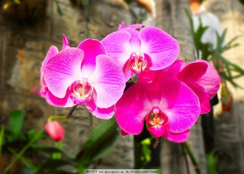 蝴蝶兰 花朵 花卉 鲜花 红蝴蝶兰 自然风景 自然景观 摄影