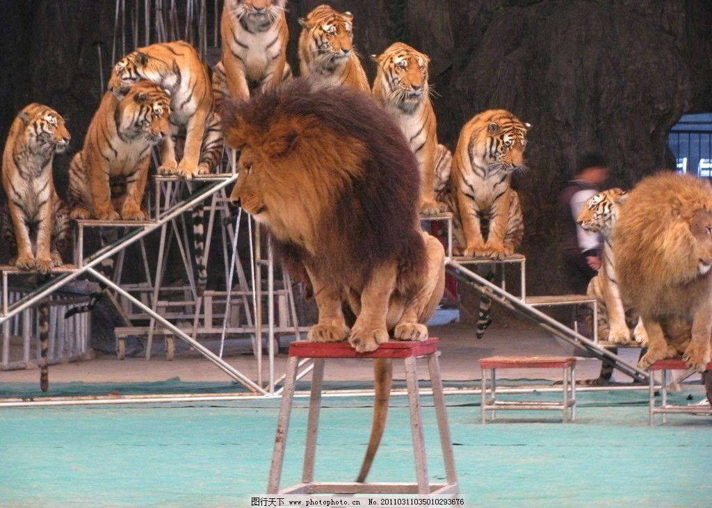 狮子 老虎 杂技表演 珍珠泉 野生动物 生物世界 摄影 180dpi jpg