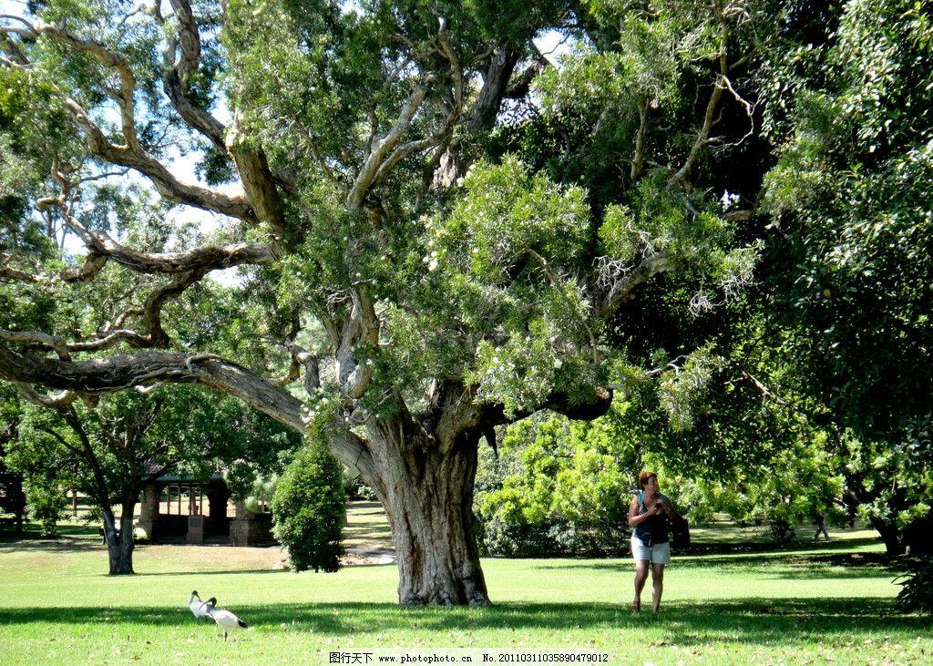 一棵大树图片