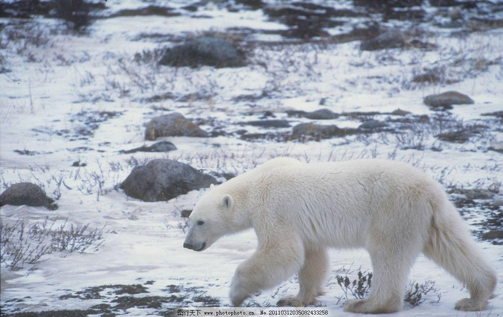 北极熊 玩耍 雪地 北极 野生动物 生物世界 摄影 4000dpi jpg