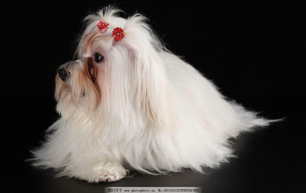 小狗 狮子狗 可爱的小狗 宠物狗 狗 名犬 名狗 宠物 动物高清动物